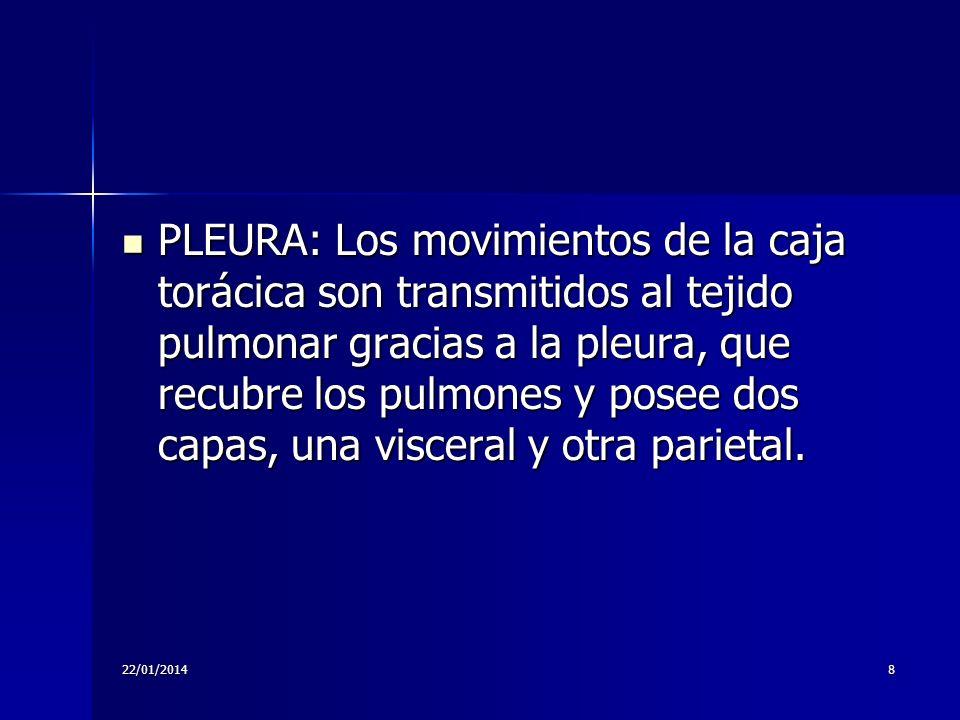 PLEURA: Los movimientos de la caja torácica son transmitidos al tejido pulmonar gracias a la pleura, que recubre los pulmones y posee dos capas, una visceral y otra parietal.