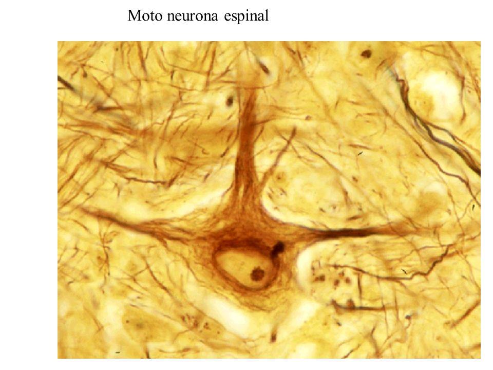 Moto neurona espinal