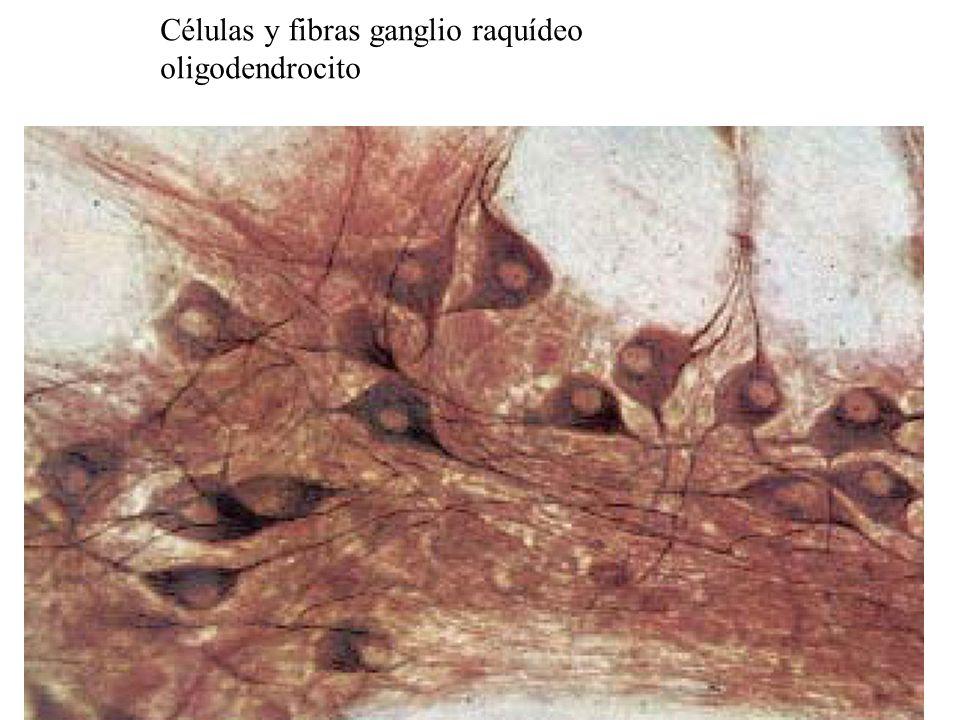 Células y fibras ganglio raquídeo