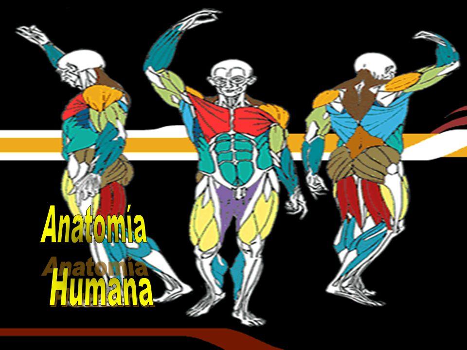 Anatomía Humana