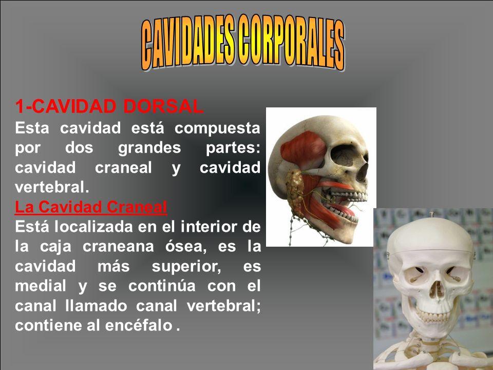 1-CAVIDAD DORSAL CAVIDADES CORPORALES