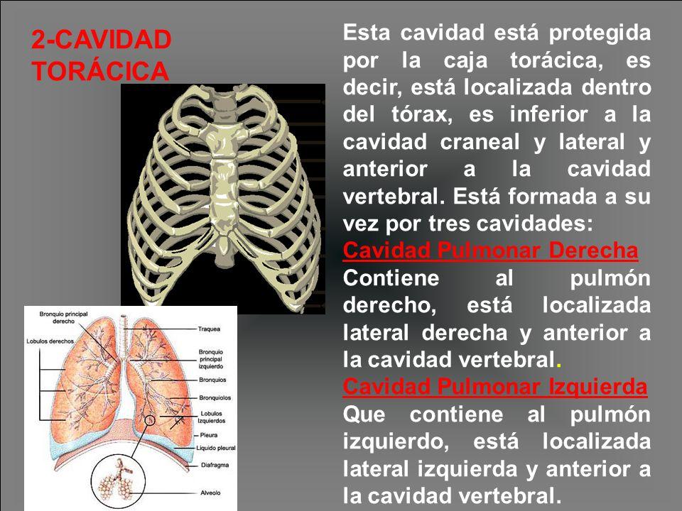 Esta cavidad está protegida por la caja torácica, es decir, está localizada dentro del tórax, es inferior a la cavidad craneal y lateral y anterior a la cavidad vertebral. Está formada a su vez por tres cavidades: