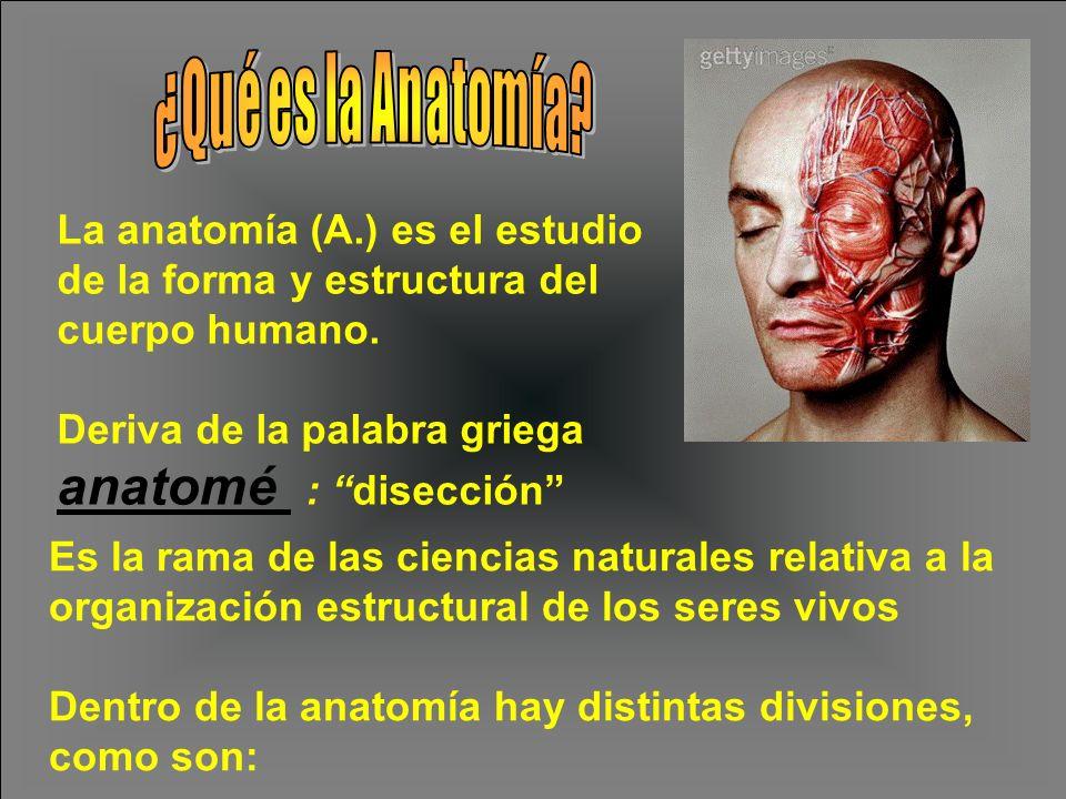 Deriva de la palabra griega anatomé : disección