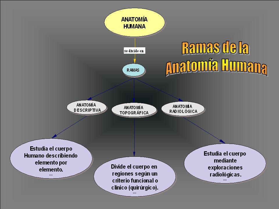 Ramas de la Anatomía Humana