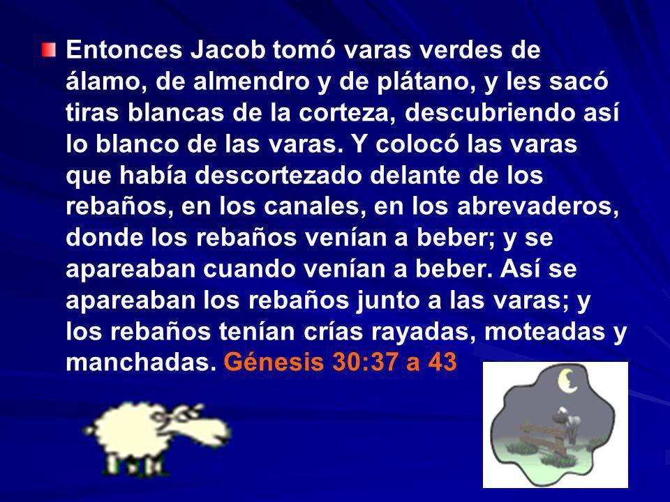Entonces Jacob tomó varas verdes de álamo, de almendro y de plátano, y les sacó tiras blancas de la corteza, descubriendo así lo blanco de las varas.