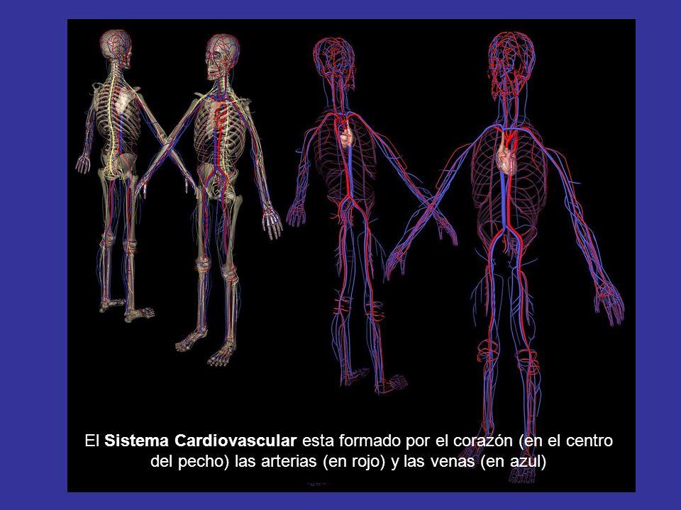 El Sistema Cardiovascular esta formado por el corazón (en el centro