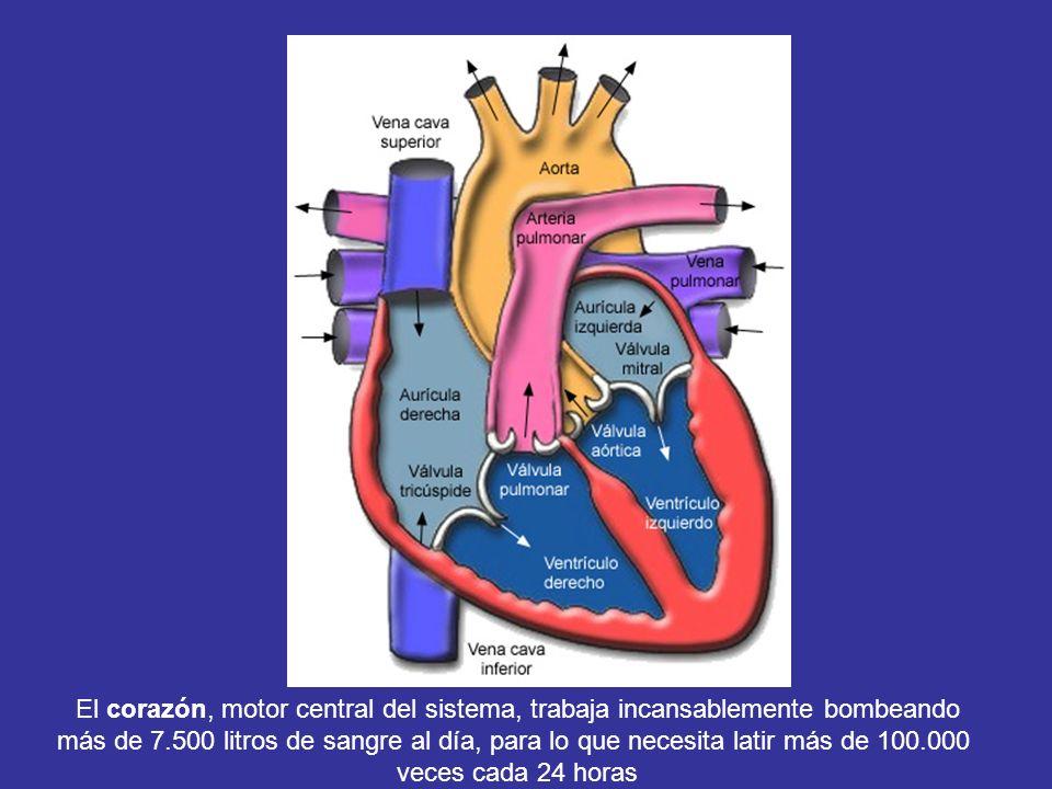 El corazón, motor central de este sistema, es un órgano admirable