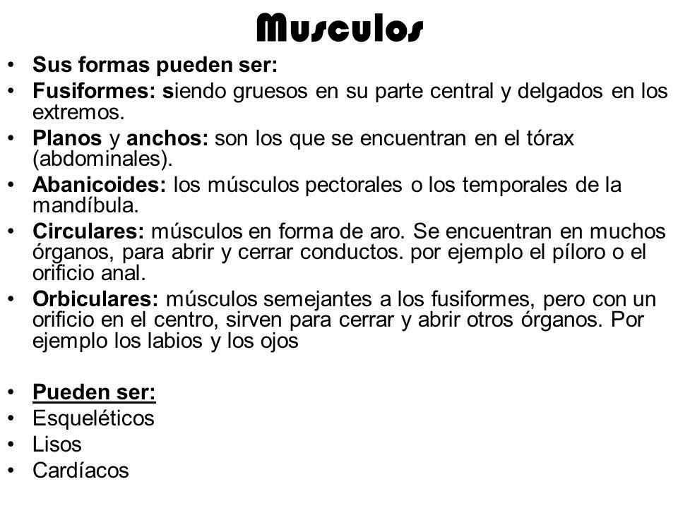 Musculos Sus formas pueden ser: