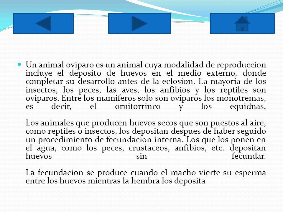 Un animal oviparo es un animal cuya modalidad de reproduccion incluye el deposito de huevos en el medio externo, donde completar su desarrollo antes de la eclosion.