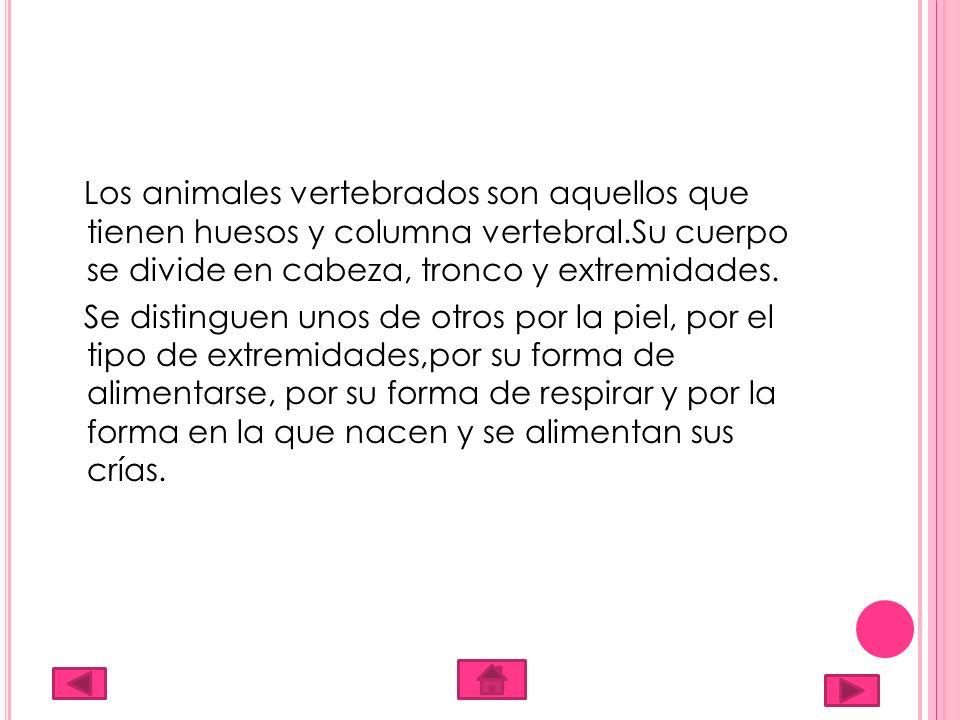 Los animales vertebrados son aquellos que tienen huesos y columna vertebral.Su cuerpo se divide en cabeza, tronco y extremidades.
