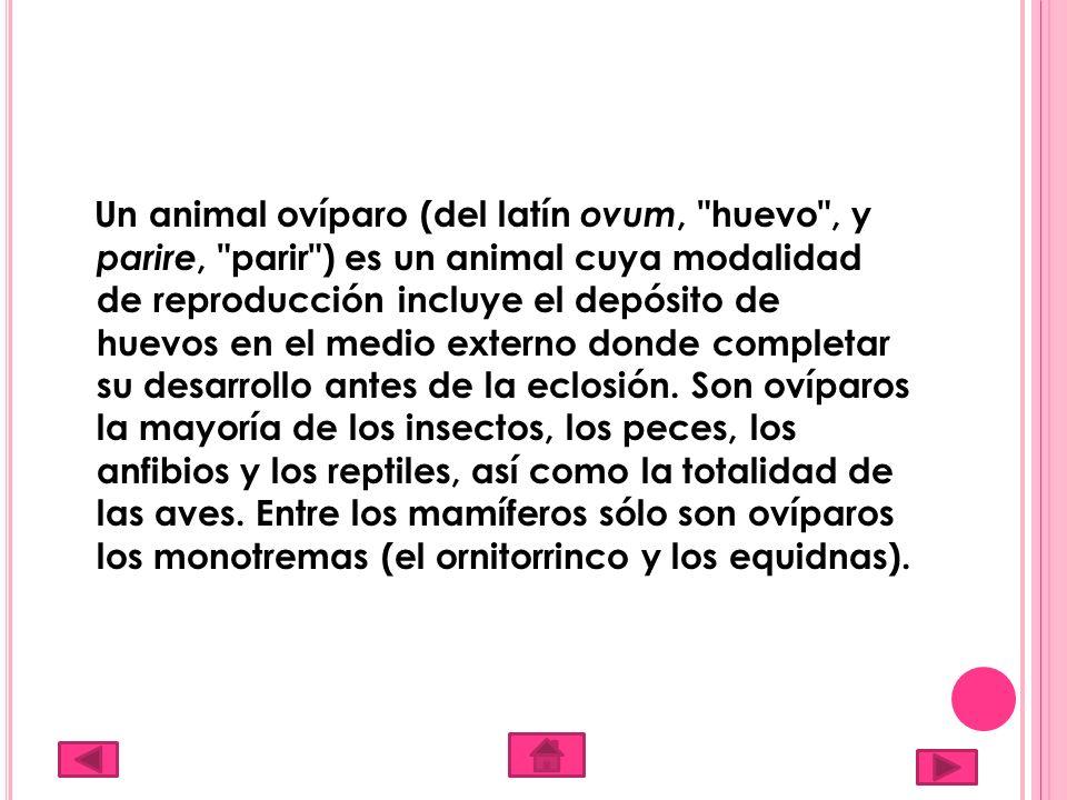 Un animal ovíparo (del latín ovum, huevo , y parire, parir ) es un animal cuya modalidad de reproducción incluye el depósito de huevos en el medio externo donde completar su desarrollo antes de la eclosión.