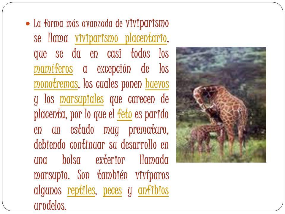 La forma más avanzada de viviparismo se llama viviparismo placentario, que se da en casi todos los mamíferos a excepción de los monotremas, los cuales ponen huevos y los marsupiales que carecen de placenta, por lo que el feto es parido en un estado muy prematuro, debiendo continuar su desarrollo en una bolsa exterior llamada marsupio.