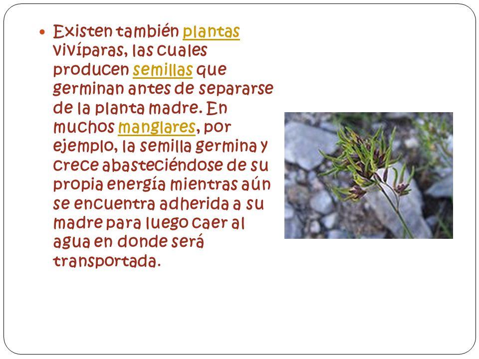 Existen también plantas vivíparas, las cuales producen semillas que germinan antes de separarse de la planta madre.