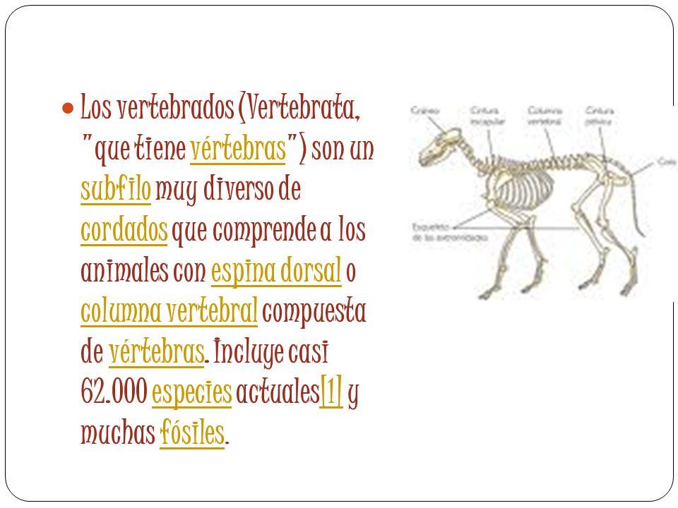 Los vertebrados (Vertebrata, que tiene vértebras ) son un subfilo muy diverso de cordados que comprende a los animales con espina dorsal o columna vertebral compuesta de vértebras.
