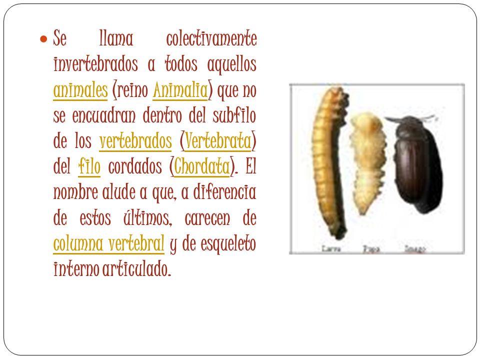 Se llama colectivamente invertebrados a todos aquellos animales (reino Animalia) que no se encuadran dentro del subfilo de los vertebrados (Vertebrata) del filo cordados (Chordata).