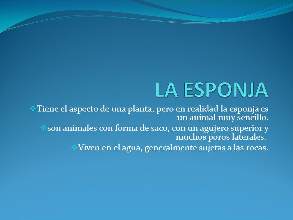 LA ESPONJA Tiene el aspecto de una planta, pero en realidad la esponja es un animal muy sencillo.