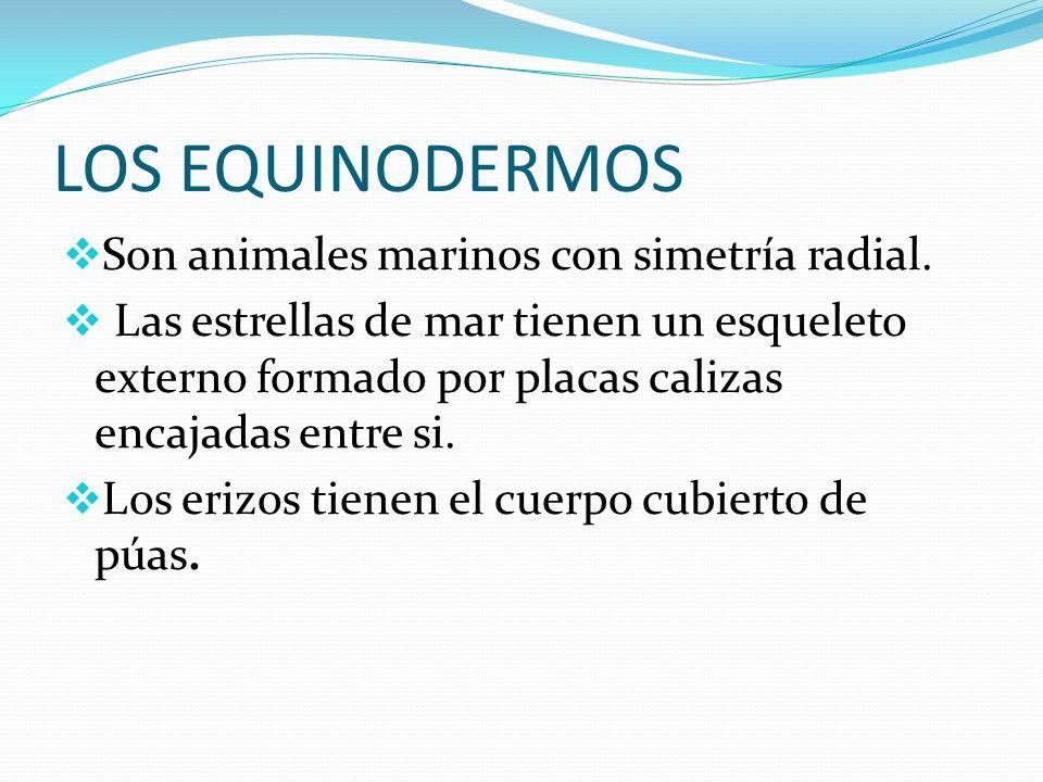 LOS EQUINODERMOS Son animales marinos con simetría radial.