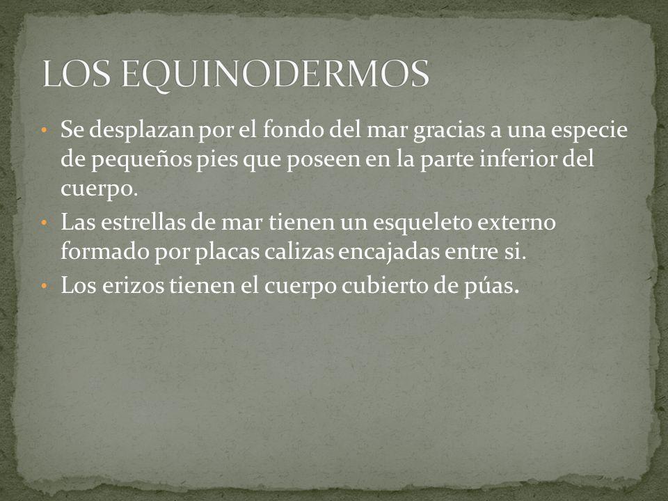 LOS EQUINODERMOSSe desplazan por el fondo del mar gracias a una especie de pequeños pies que poseen en la parte inferior del cuerpo.