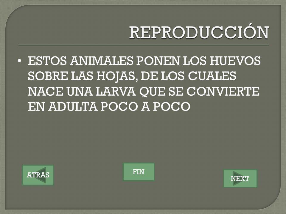 REPRODUCCIÓN ESTOS ANIMALES PONEN LOS HUEVOS SOBRE LAS HOJAS, DE LOS CUALES NACE UNA LARVA QUE SE CONVIERTE EN ADULTA POCO A POCO.