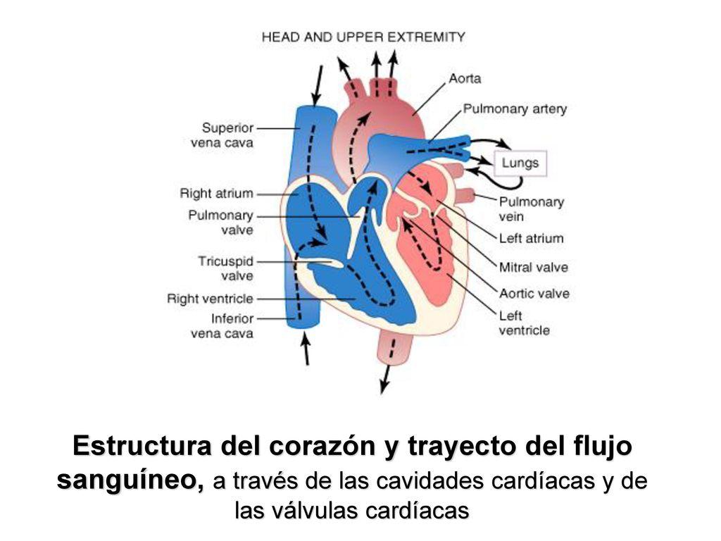 Atractivo Diagrama De Flujo De Sangre Anatomía Del Corazón Viñeta ...