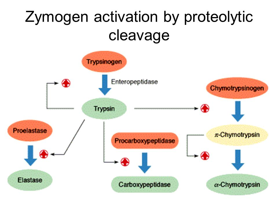 Zymogen activation by proteolytic cleavage