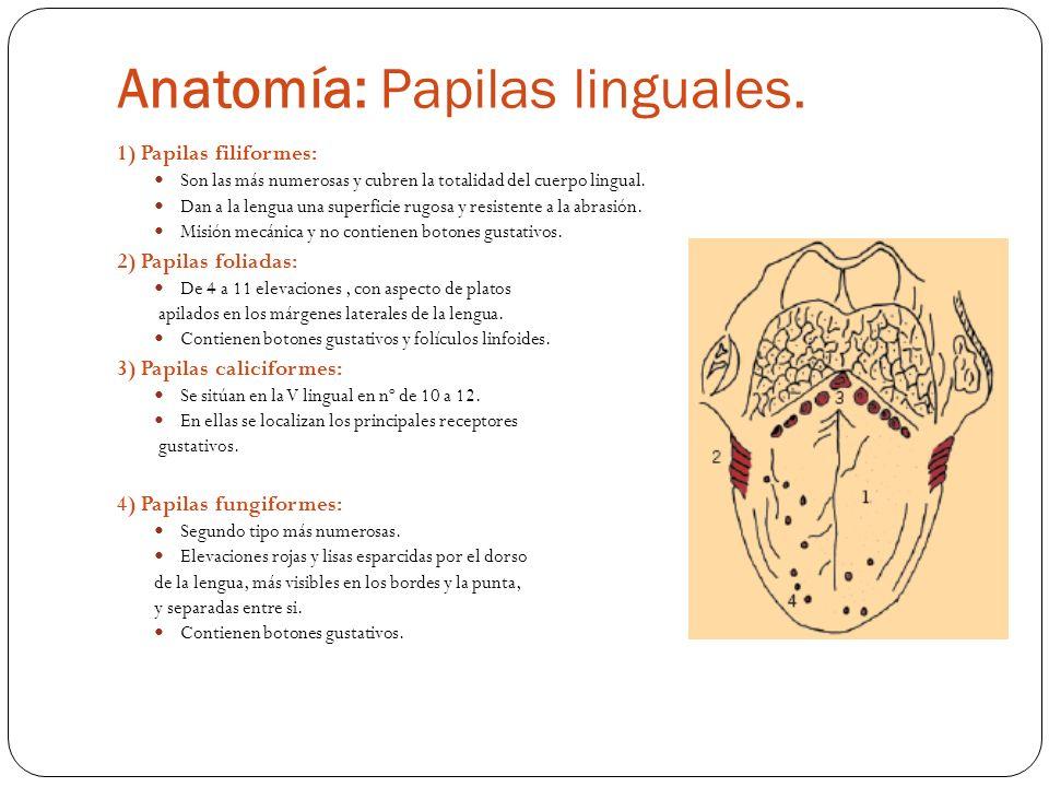 Anatomía: Papilas linguales.