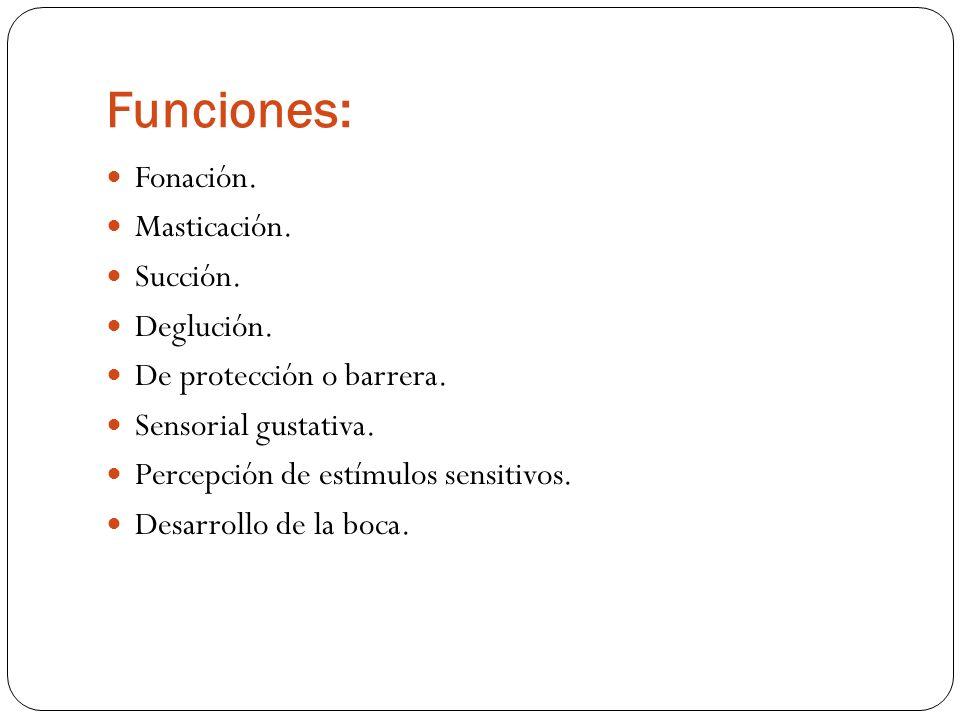 Funciones: Fonación. Masticación. Succión. Deglución.