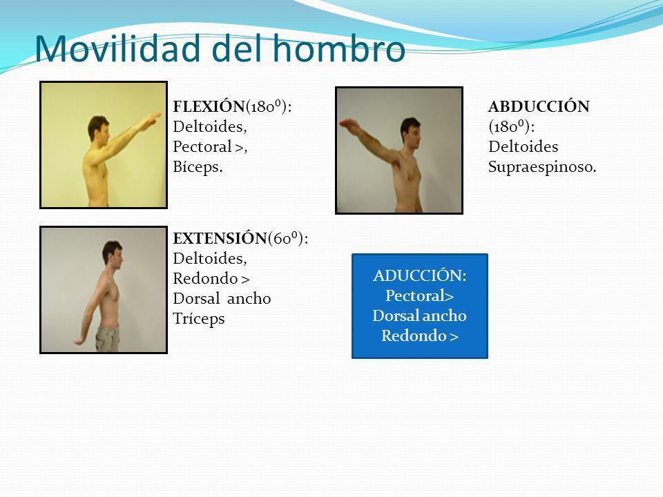 Movilidad del hombro FLEXIÓN(180⁰): Deltoides, Pectoral >, Bíceps.
