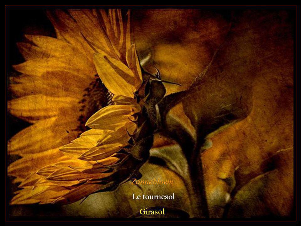 Zonnebloem Le tournesol Girasol