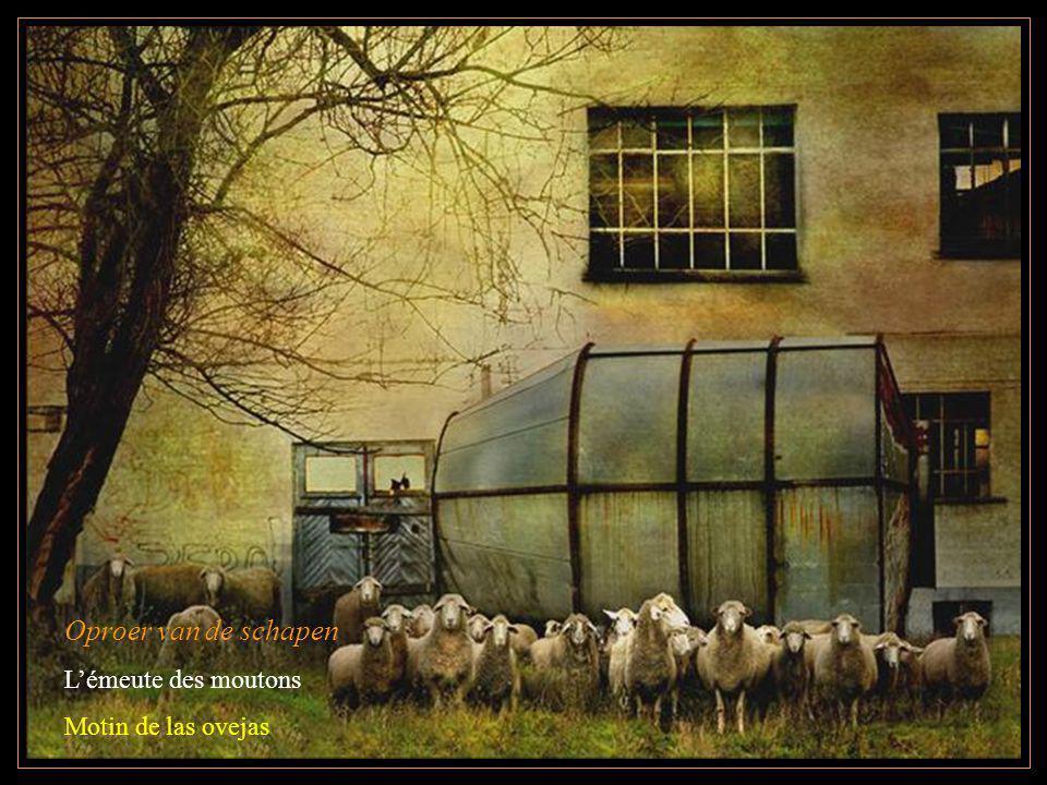 Oproer van de schapen L'émeute des moutons Motin de las ovejas