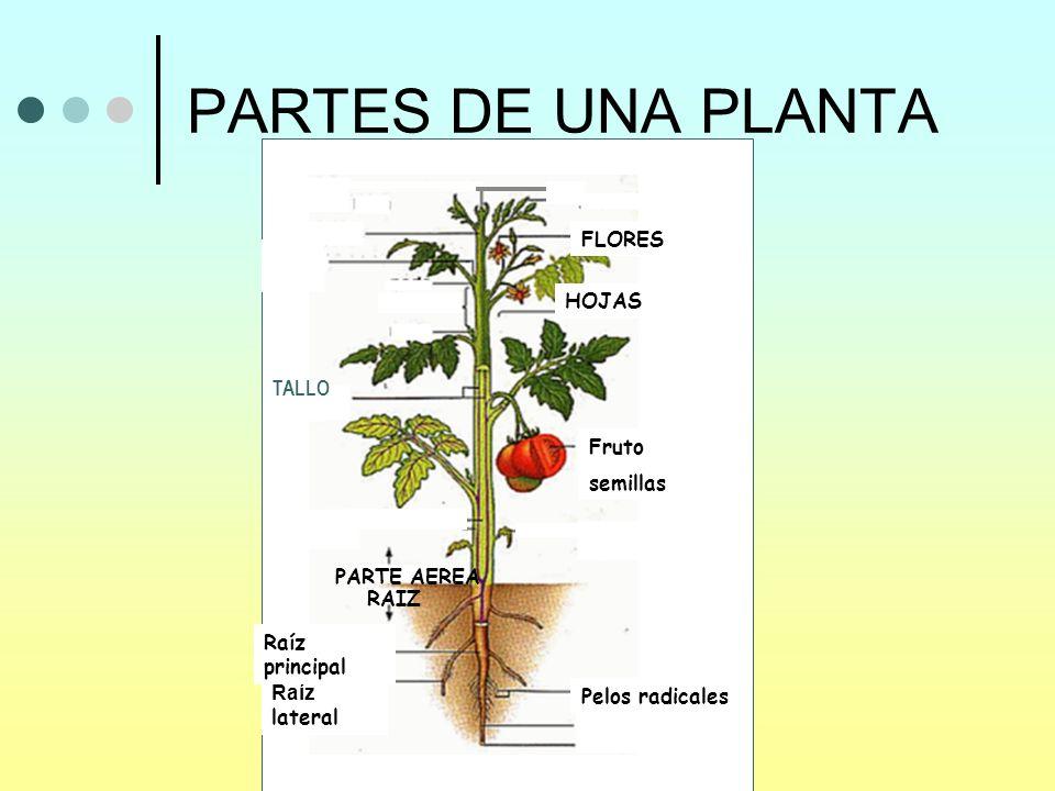 PARTES DE UNA PLANTA FLORES HOJAS TALLO Fruto semillas PARTE AEREA