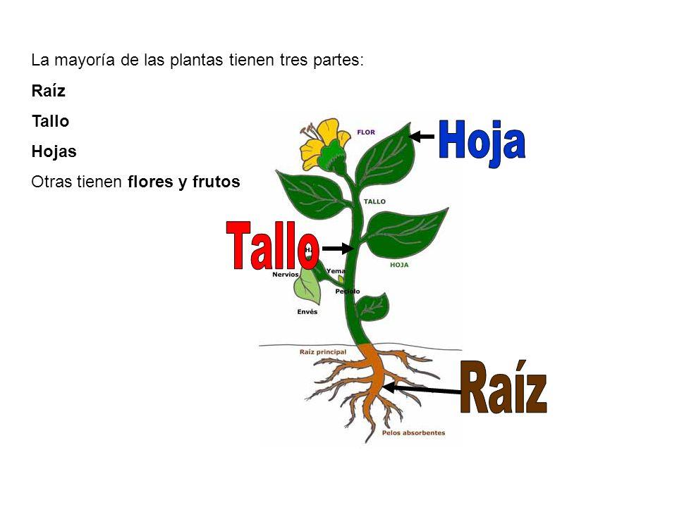 Hoja Tallo Raíz La mayoría de las plantas tienen tres partes: Raíz