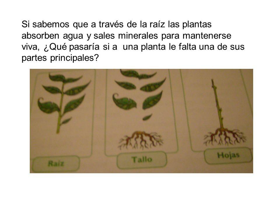 Si sabemos que a través de la raíz las plantas absorben agua y sales minerales para mantenerse viva, ¿Qué pasaría si a una planta le falta una de sus partes principales