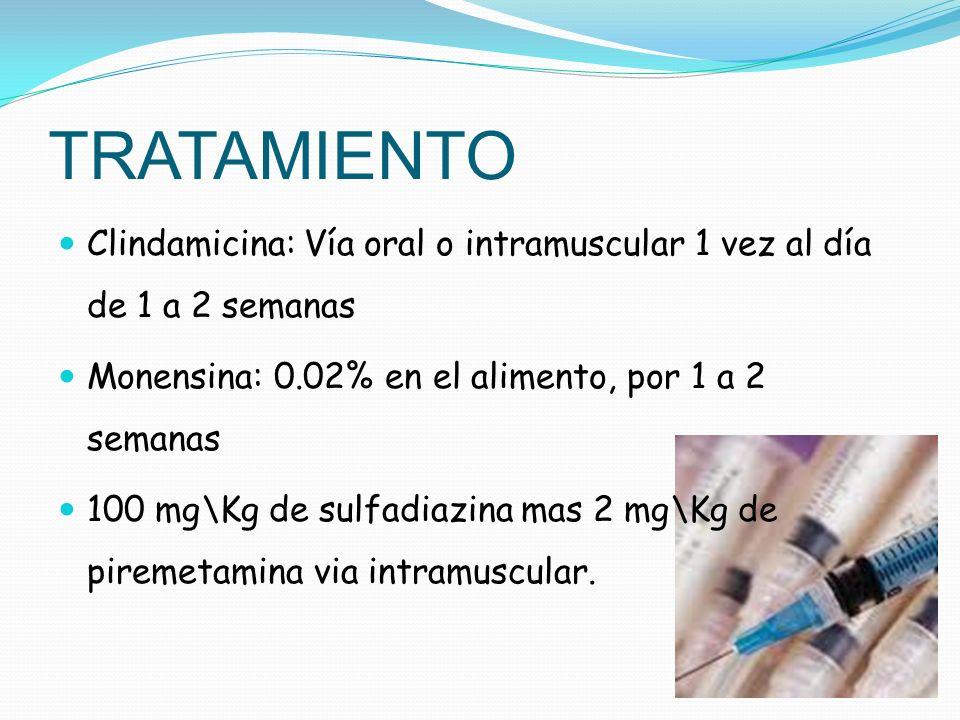 TRATAMIENTO Clindamicina: Vía oral o intramuscular 1 vez al día de 1 a 2 semanas. Monensina: 0.02% en el alimento, por 1 a 2 semanas.
