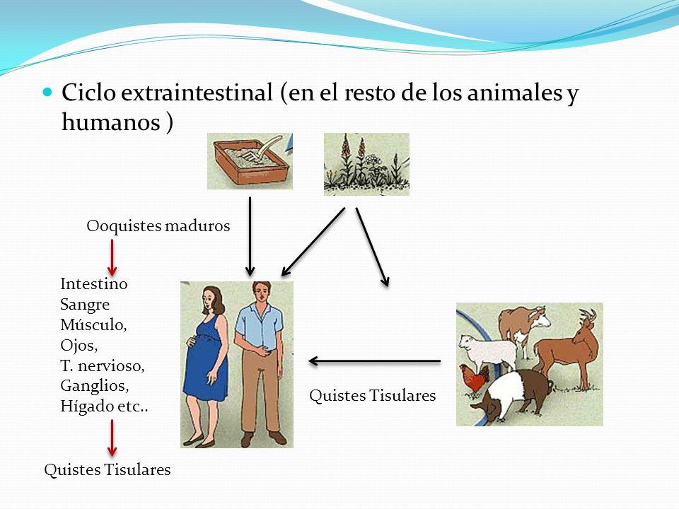 Ciclo extraintestinal (en el resto de los animales y humanos )