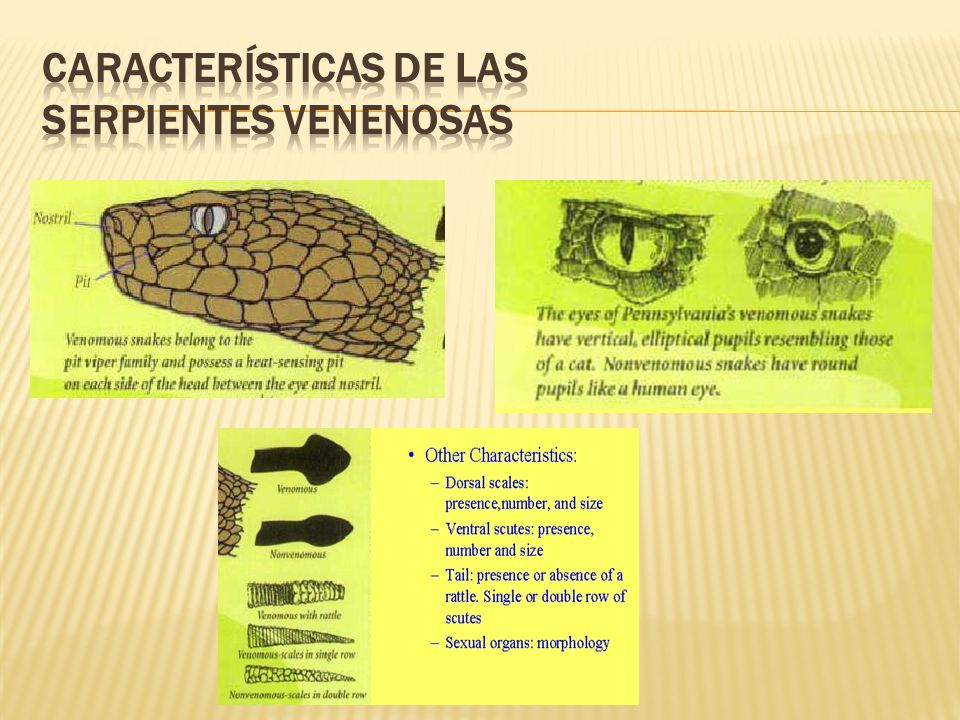 Características de las serpientes venenosas