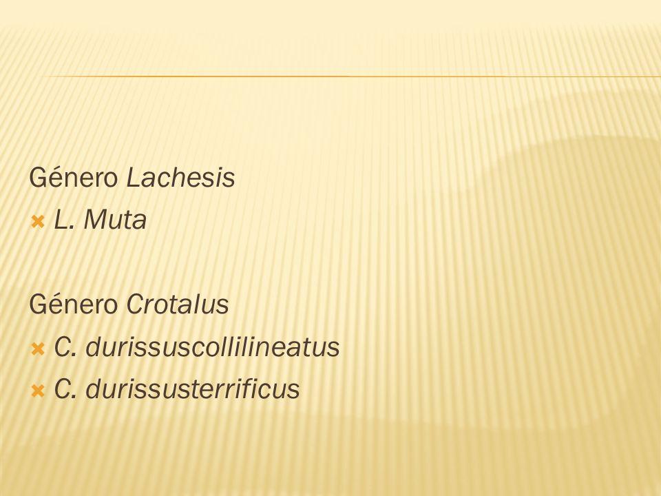 Género Lachesis L. Muta Género Crotalus C. durissuscollilineatus C. durissusterrificus