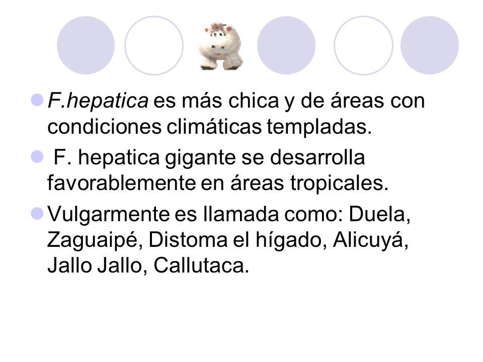 F.hepatica es más chica y de áreas con condiciones climáticas templadas.
