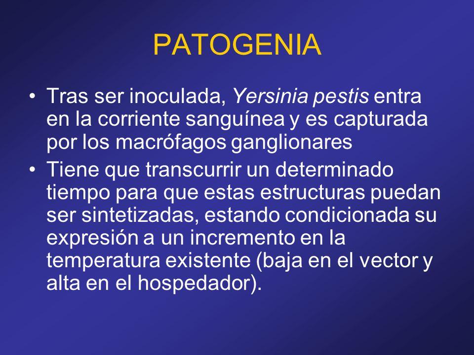 PATOGENIA Tras ser inoculada, Yersinia pestis entra en la corriente sanguínea y es capturada por los macrófagos ganglionares.
