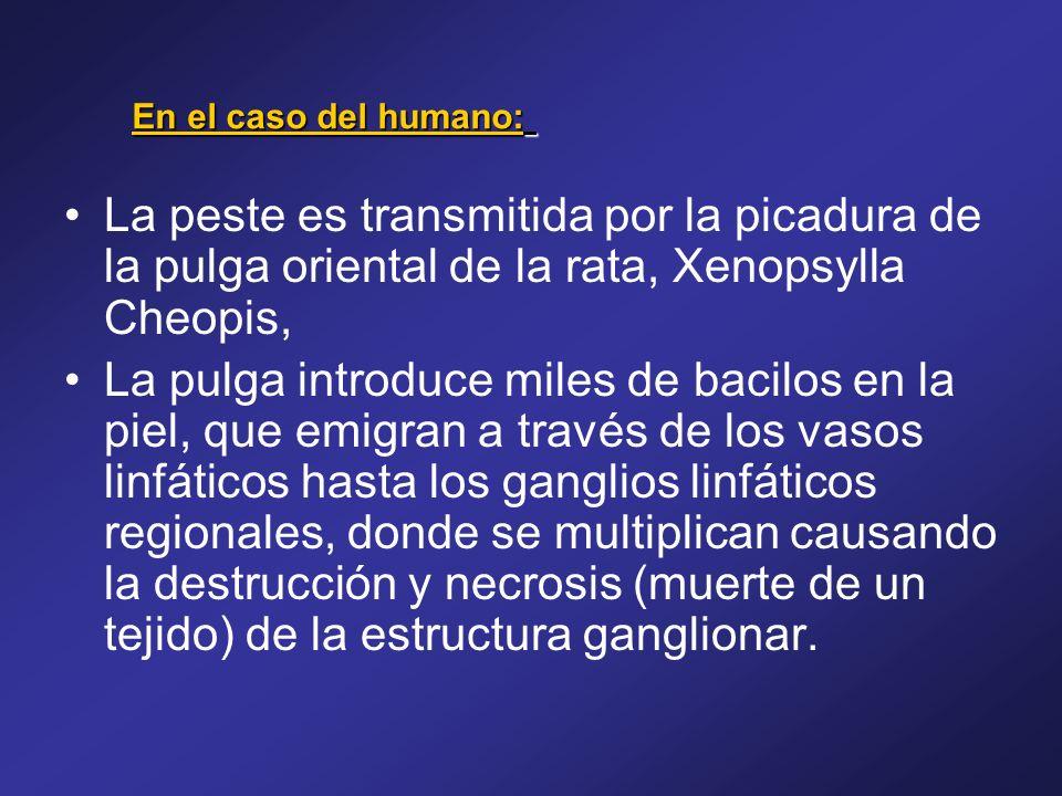 En el caso del humano: La peste es transmitida por la picadura de la pulga oriental de la rata, Xenopsylla Cheopis,