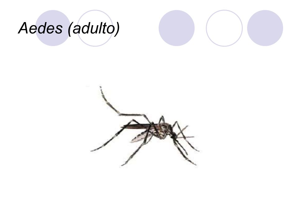 Aedes (adulto)