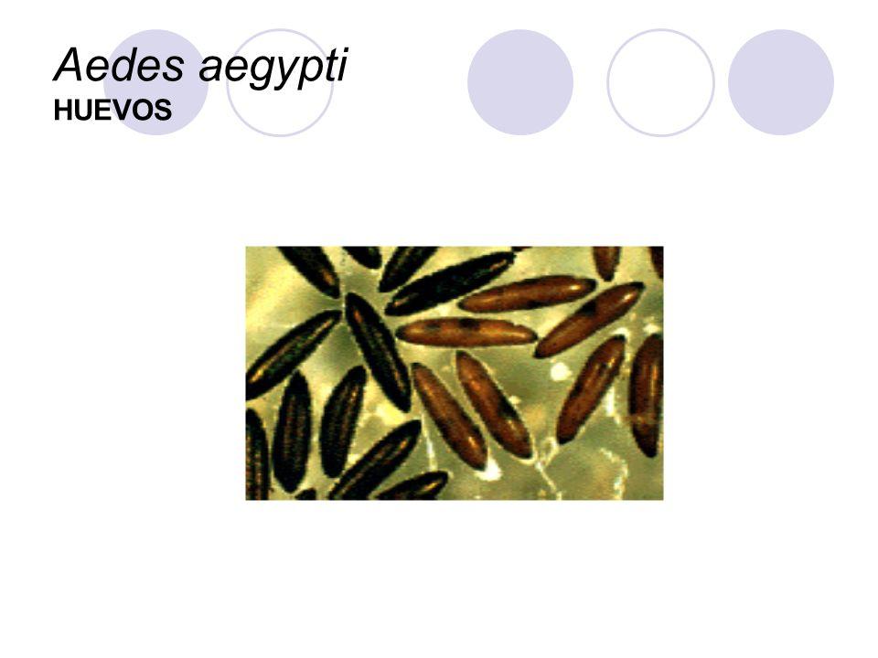 Aedes aegypti HUEVOS