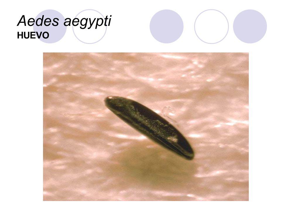 Aedes aegypti HUEVO