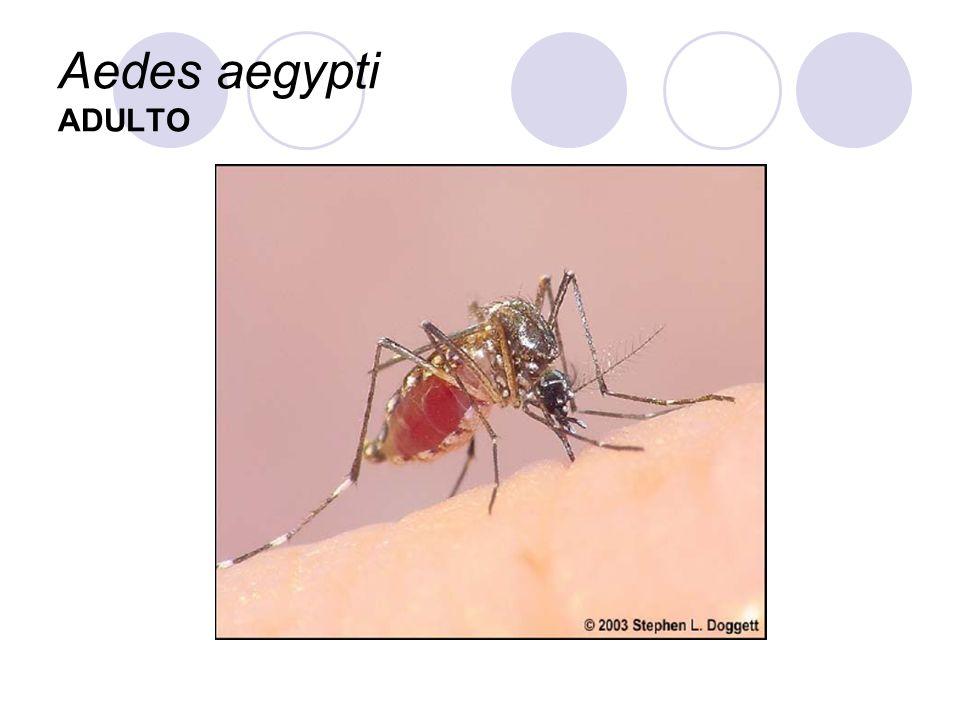 Aedes aegypti ADULTO