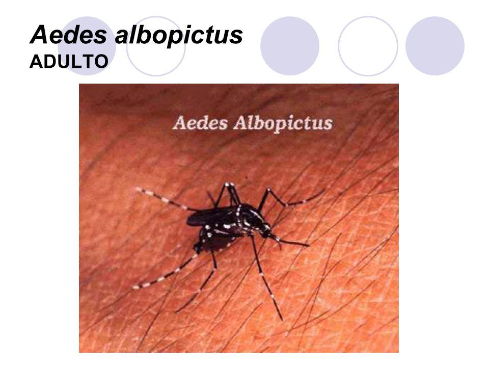 Aedes albopictus ADULTO