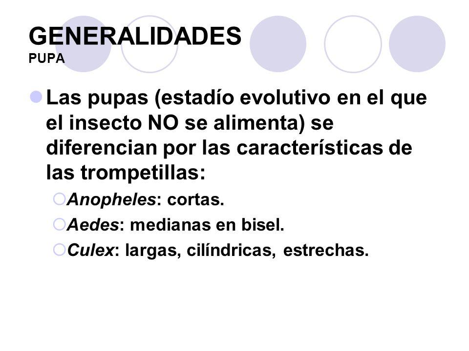GENERALIDADES PUPA Las pupas (estadío evolutivo en el que el insecto NO se alimenta) se diferencian por las características de las trompetillas: