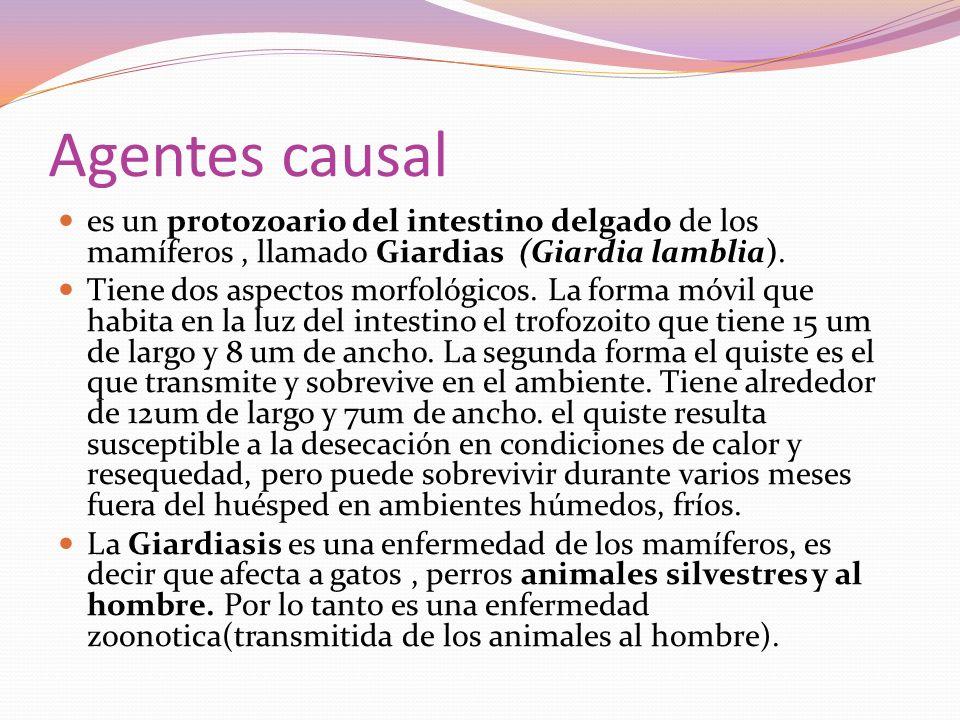 Agentes causal es un protozoario del intestino delgado de los mamíferos , llamado Giardias (Giardia lamblia).