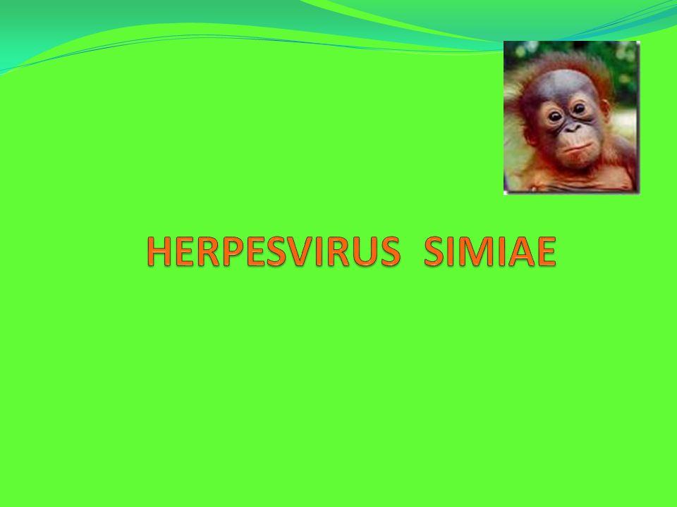 HERPESVIRUS SIMIAE