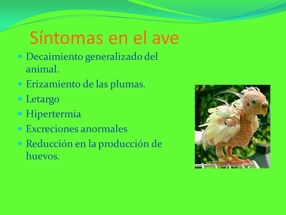 Síntomas en el ave Decaimiento generalizado del animal.