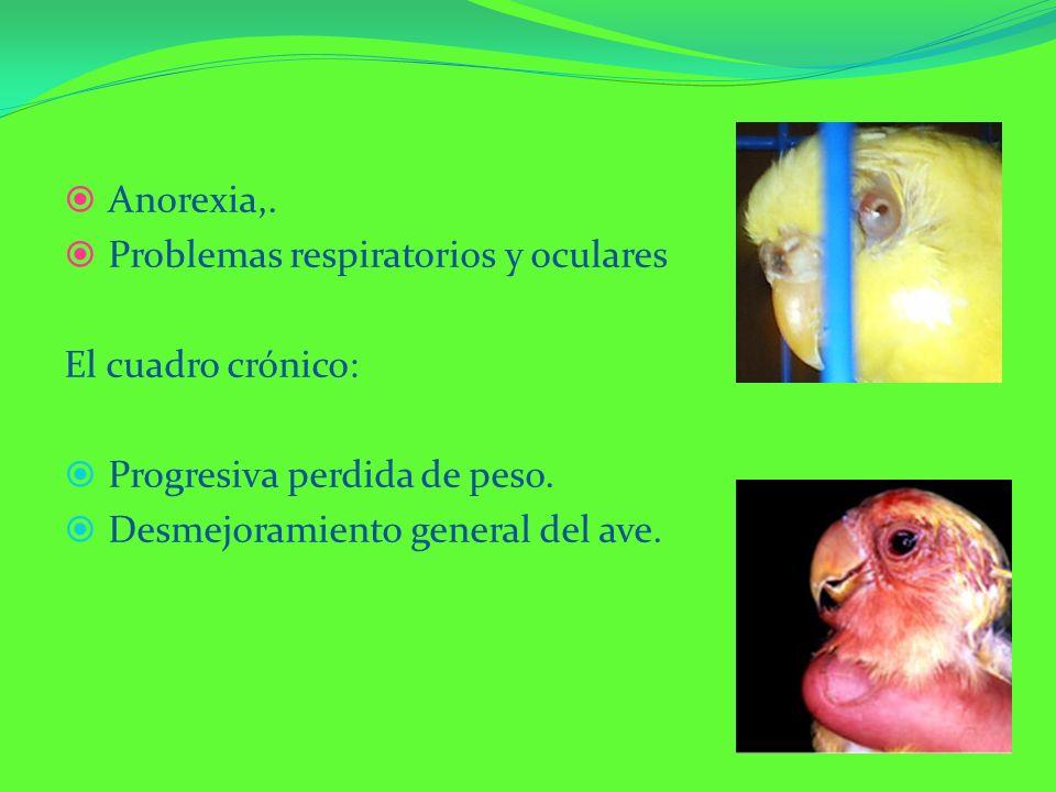 Anorexia,. Problemas respiratorios y oculares. El cuadro crónico: Progresiva perdida de peso.